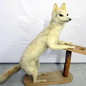 White Fox 90cm Long 83cm High