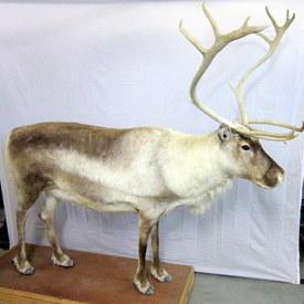 Reindeer 200cm High 220cm Long On Wheels