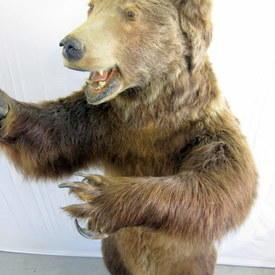 Brown Bear 220cm High