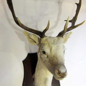 Taxidermy White Stag Head With Antler 63cm Tip To Tip Of Each Antler