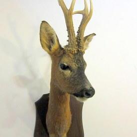 Taxidermy Deer Head
