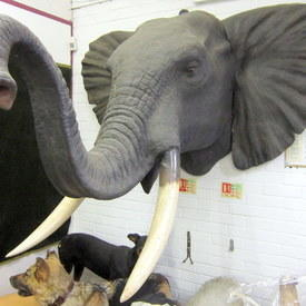 Elephant Head 170cm From Wall To The Tip Of The Tusk And 137cm High
