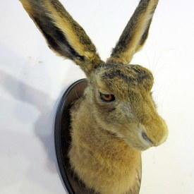 Taxidermy Hare Head