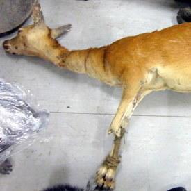 Elk Female 175cm Long