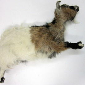 Brown And White Goat 80cm Long