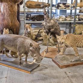 Leopard, Warthog, Bear And Assorted Taxidermy