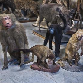 Baboons And Monkeys