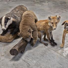 Badger, Koala, Fox, Dog