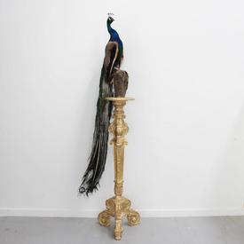 8Ft  Stuffed Peacock on Carved Gilt Pedestal