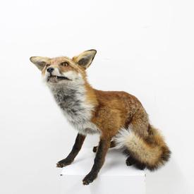Stuffed 'Basil Boom Boom Brush' Crouching Fox